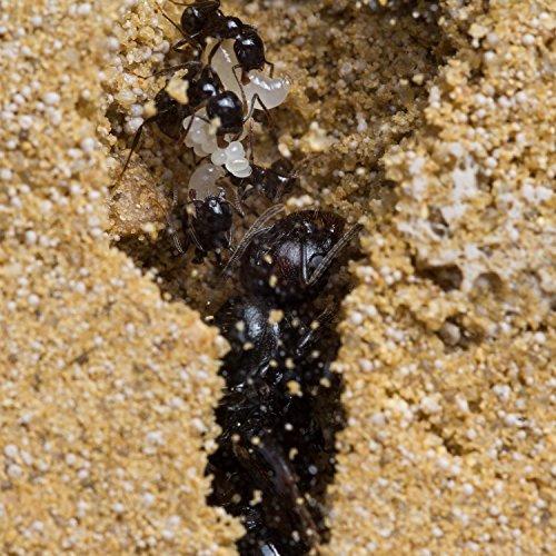 Sand-Ant-Farm-Basic-Formicarium-Educational-Ants-Anthill-0-1